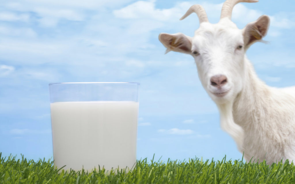 goat milk better than cow milk